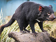 "Famous Port Arthur & Tassie Devils ""MEGA"" Day Tour - With DVD experience on board"