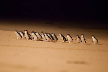 Little Penguins on Parade