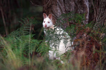 Bruny Island White Wallabies